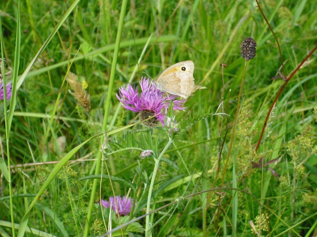 Black_knapweed_meadow_brown