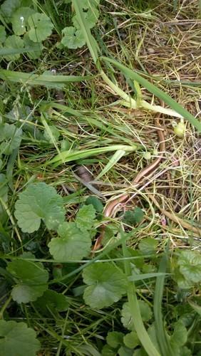 Slow worm photo
