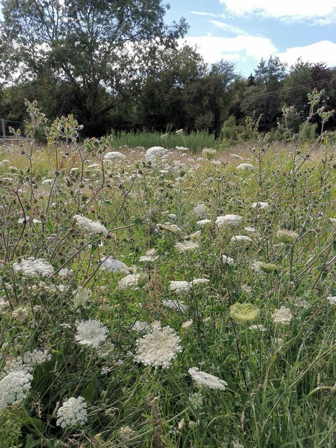 willow coppice in august