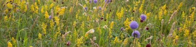 wildflower_meadow_thames_crop