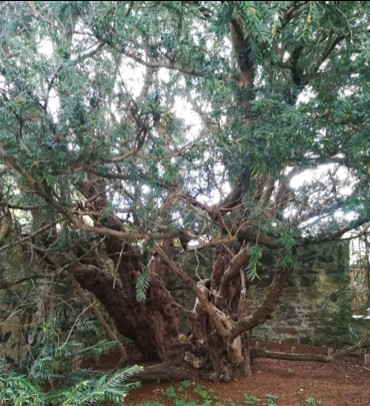 Fortingall_yew