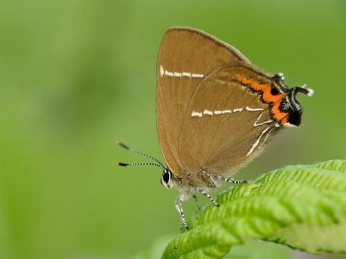 13 White-letter Hairstreak butterfly
