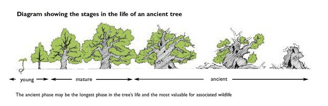 1 ancient tree  life cycle Ancient Tree Forum