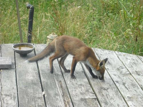 foxcub_deck