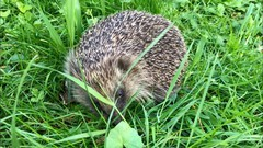 Hedgehog_IMG_1415