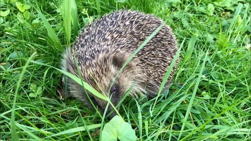 Hedgehog_IMG_1415
