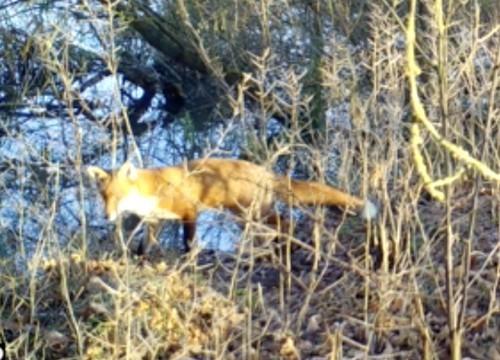 Fox_HSI