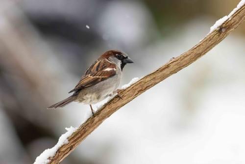 House sparrow(m)Joe2