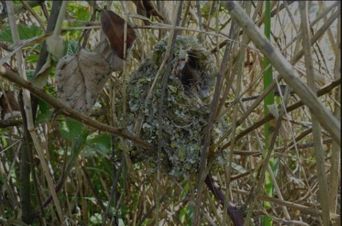 Long-tailed tits nest