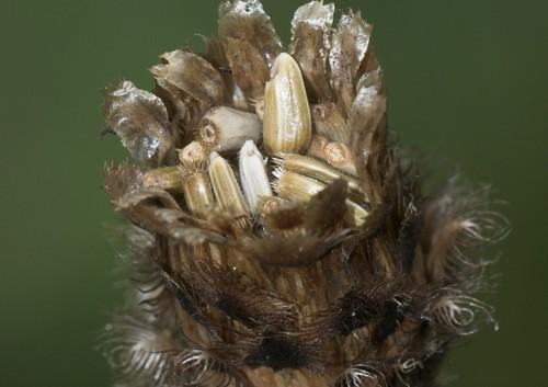 cowslip-seedhead